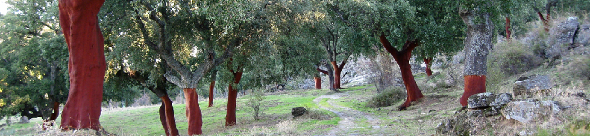 Cork oak forest in Plasencia.