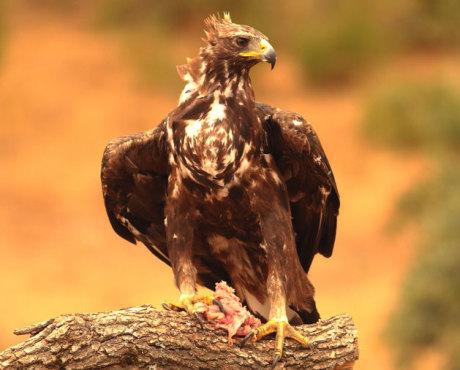 Águila real y Buitre leonado