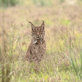 Iberian lynx in one of our routes.