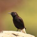 Black wheatear in Extremadura.